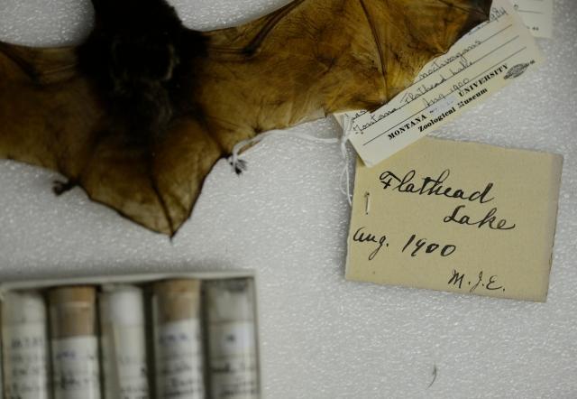 Flathead Bat