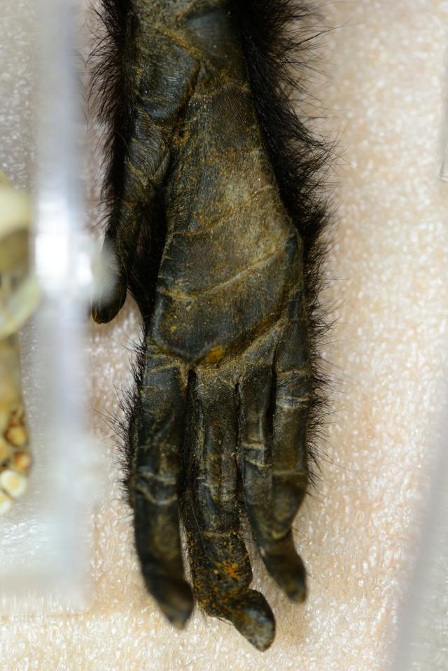 Gibbon Hand